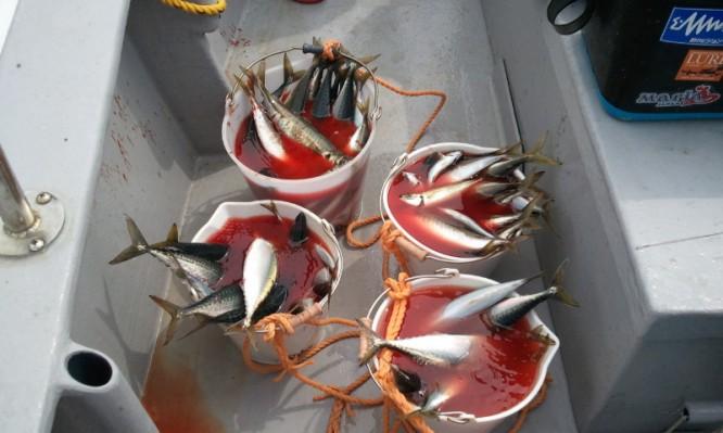 アジサバ釣果